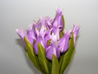 Tulipan pojedynczy liliokształtny (3)