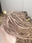 Liliowiec Black Arrowhead (2)