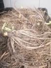 Liliowiec Black Arrowhead (3)