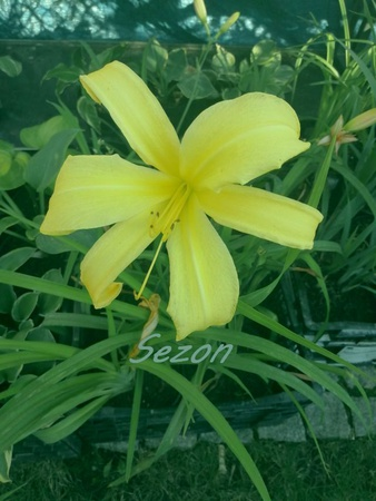 Liliowiec Lemon Madeline (1)