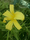 Liliowiec Lemon Madeline (4)