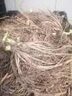 Liliowiec Nile Crane (3)