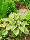 Hosta Alvatine Taylor (1)