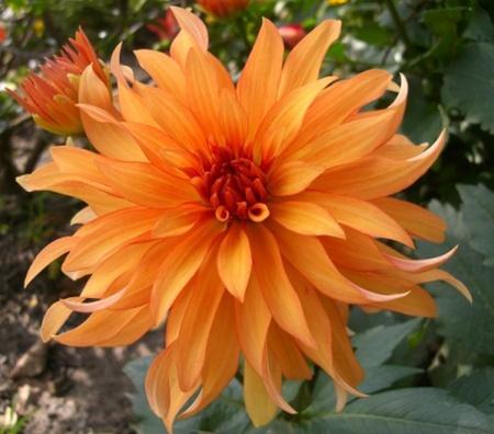 Dalia Autumn Fairy (1)