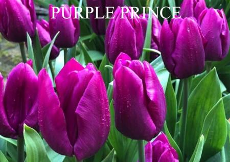 TULIPAN PURPLE PRINCE (1)