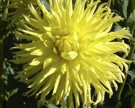 Dalia Yellow Star (1)