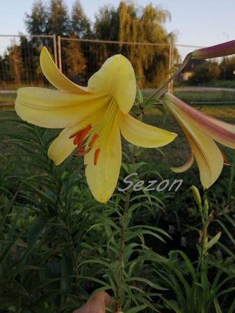 Lilia Golden Splendor (1)
