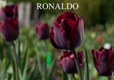 TULIPAN RONALDO (1)
