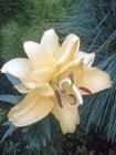 Lilia Exotic Sun (1)