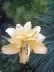 Lilia Exotic Sun (2)