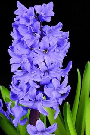 HIACYNT DERFT BLUE (1)