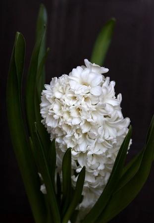 HIACYNT  WHITE PEARL (1)