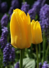 Zestaw tulipan 1-klasyczny